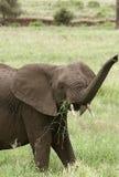 Elephant  (Loxodonta africana) Royalty Free Stock Image