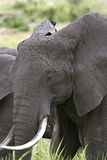 Elephant  (Loxodonta africana) Royalty Free Stock Photography