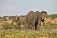 Elephant Loxodonta africana,  in Chobe National Park, Botswana Stock Photography