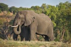 Elephant Loxodonta africana,  in Chobe National Park, Botswana Royalty Free Stock Images