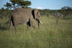 Elephant, loxodonta africana, grazing on lush green grass, with small ivory tusks. Masi Mara, Kenya, Africa royalty free stock image