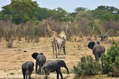 Elephant, Loxodonta africana, in Hwange National Park, Zimbabwe Royalty Free Stock Photos