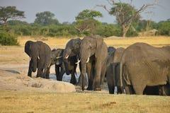 Elephant, Loxodonta africana, in Hwange National Park, Zimbabwe Royalty Free Stock Images