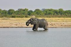 Elephant, Loxodonta africana, in Hwange National Park, Zimbabwe Royalty Free Stock Image