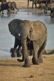 Elephant, Loxodonta africana, in Hwange National Park, Zimbabwe Royalty Free Stock Photography