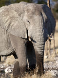 Elephant - Loxodonta africana. An African Elephant (Loxodonta africana) in Etosha National Park in Namibia stock images