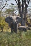 Elephant Loxodonta africana, national park Moremi, Botswana Stock Images