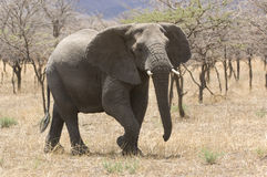 Elephant (Loxodonta africana) in savannah Royalty Free Stock Photo