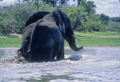 Elephant (Loxodonta africana) swimming Stock Image