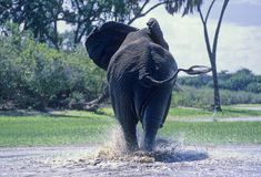 Elephant (Loxodonta africana) swimming Stock Photos