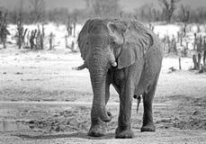 Elephant Loxodonta in black & white on the Hwange Plains. An african elephant Africana Loxodnta standing on the dry plains in Hwange national park, Zimbabwe in royalty free stock image