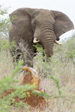 An elephant lurking behind thorn bushes. Photographed at Hluhluwe/Imfolozi Game Reserve in South Africa. The Hluhluwe/Imfolozi National Park is located near St Royalty Free Stock Photos