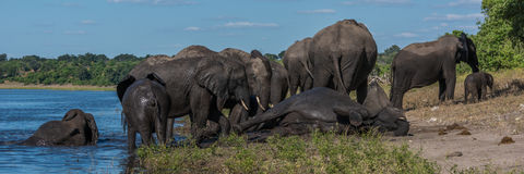 Elephant lying down on riverbank amongst herd Stock Images