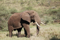 Elephant in The Maasai Mara National Reserve, Kenya Stock Photo