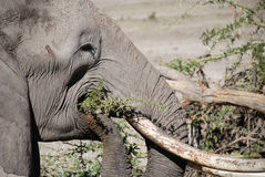 Elephant in The Maasai Mara National Reserve, Kenya Royalty Free Stock Photography