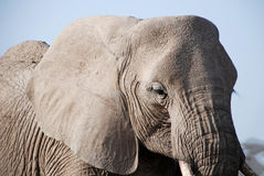 Elephant in The Maasai Mara National Reserve, Kenya Royalty Free Stock Image