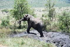 Elephant in The Maasai Mara National Reserve, Kenya Stock Photos