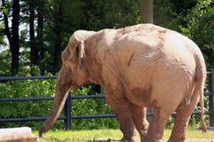 Elephant. A magnificent specimen of elephant Royalty Free Stock Photo