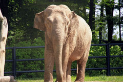 Elephant. A magnificent specimen of elephant Royalty Free Stock Images