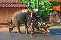 Elephant and mahout in kerala, India. A mahout on the back of an elephant carrying the palm leaves while the second mahout rides along at kerala, india
