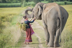Elephant and mahout. Elephant and woman mahout of the elephant village, Elephant village Thailand,Surin Thailand Stock Image