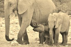 Elephant Majesty - African Wildlife Background - Life in all shapes and sizes Stock Photo