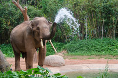 Elephant make water spray - Nature shower Stock Photos