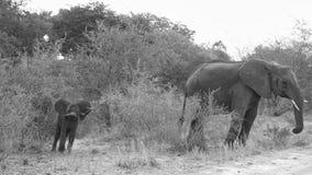 Elephant Makutsi Royalty Free Stock Image