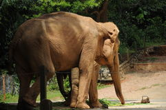 An Elephant in Malacca Zoo Royalty Free Stock Photography