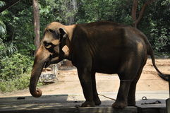 An Elephant in Malacca Zoo Royalty Free Stock Images