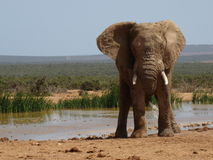 Elephant Male. An elephant male, the leader of the pack, is standing by a waterhole in Addo Elephant National Park, Eastern Cape, South Africa Royalty Free Stock Photography