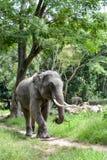 Elephant. Male asian elephant in jungle stock photography