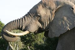 Elephant Male Bull. Eating green shrubs with trunk stock image