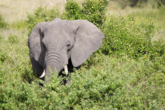 Elephant male in bushes. Head of elephant male close-up surrounded bij high bushes Royalty Free Stock Photography