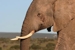Elephant male close up. African male elephant close up portrait royalty free stock images