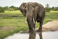 An elephant male drinks at the watering can Stock Photography