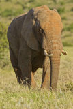 Elephant male eating grass Royalty Free Stock Photo