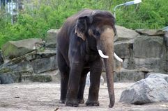 Elephant male indian. Single indian elephant, male, with tusks stock image