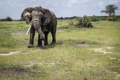 Elephant male on pasture Royalty Free Stock Photography