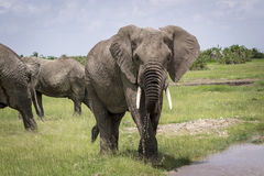 Elephant male walks to the watering Stock Photography