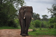 Elephant male in Zambesi royalty free stock photography