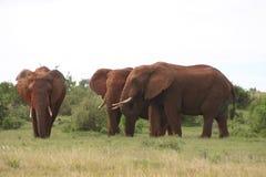 Elephant males. 3 big elephant males enjoying sunny weather Stock Image