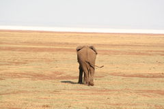 Elephant at Manyara Lake. Dry season at Lake Manyara, Tanzania. In the background is the dry lake, the white being deposited salts stock image