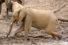 African animals. Elephant  at  Mapungubwe National Park Royalty Free Stock Images