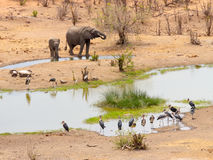 Elephant and Marabou Storks photographed in the wild near Victoria Falls in Zimbabwe. Stock Images