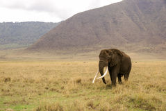Elephant marches. Through Ngorongoro Crater, Tanzania Royalty Free Stock Images