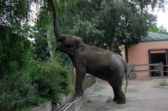 Elephant. Marta Elephant throws sand itself in zoo Palic,Subotica,Serbia,02.08.2015 stock photo