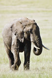 Elephant   in Masai Mara Stock Photography