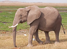 Elephant on the Masai Mara Royalty Free Stock Photo
