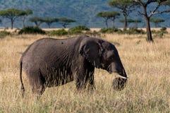 Elephant in Masai Mara Royalty Free Stock Image